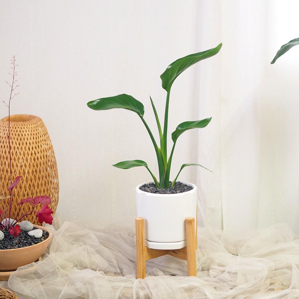 고미플라워 공기정화식물 우드스탠드 화분 세트 중형 식물 모음 18종, 여인초