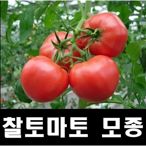찰토마토모종10개/왕토마토모종/신러블리/맛이좋은 전문농사용/굵은품종