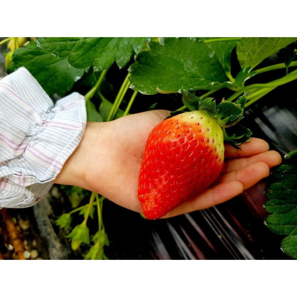 [킹스베리 500g=12 750원] 킹스베리 딸기 1kg