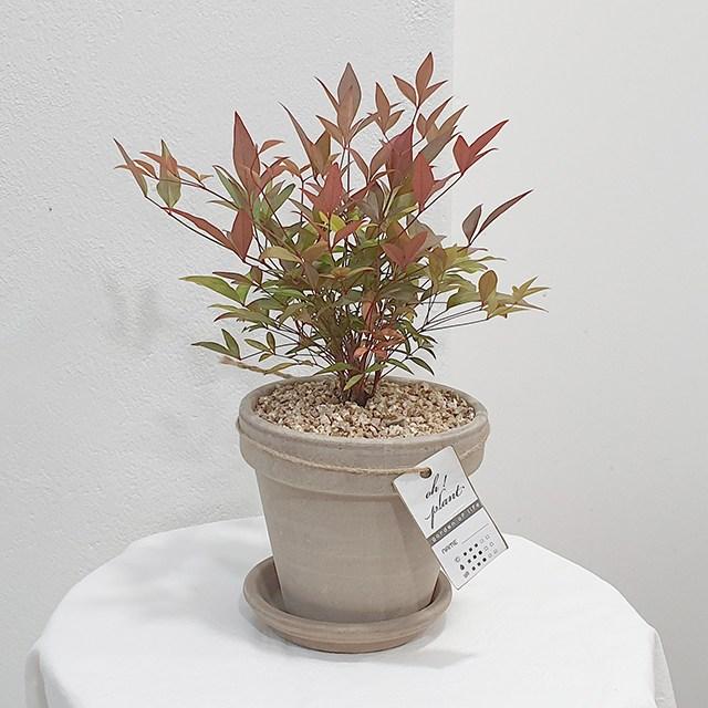 오플랜트 남천+토분 set 실내공기정화식물 남천나무, 독일마블