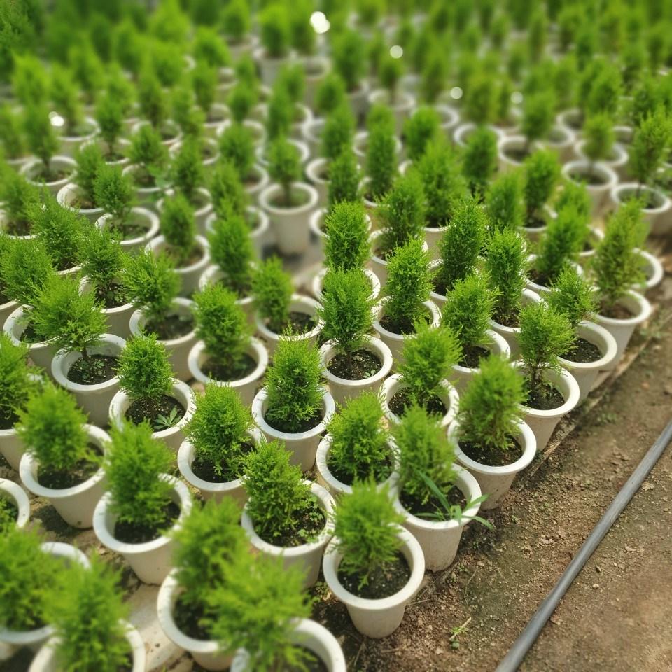 식물공장 5개 식물도매 대량구매 율마 외목대 중대품 35~60cm 79 허브 공기정화식물