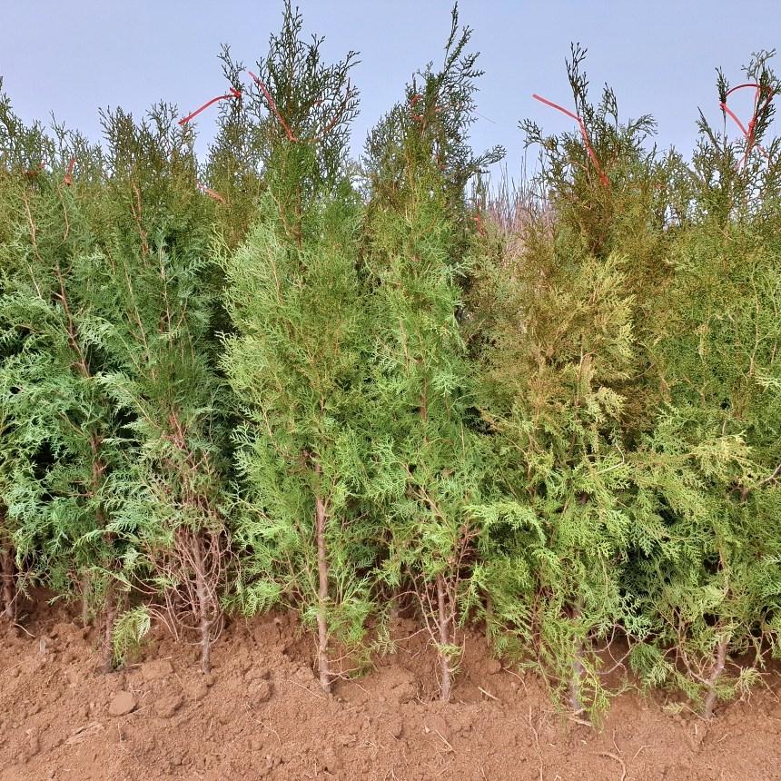 모든원예조경 조선측백나무 (키1.5m전후)분묘목