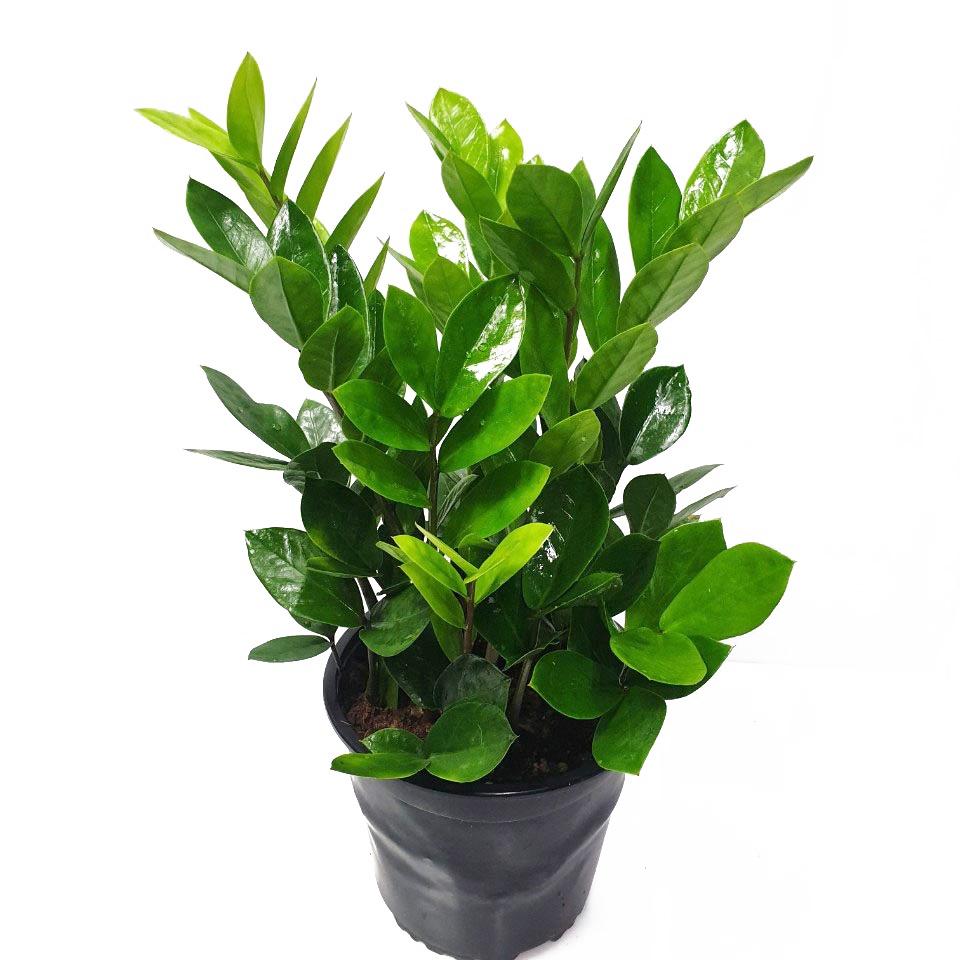 트리앤 돈나무 동전금전수 보석금전수 공기정화식물, 04. 금전수(중소) 1개