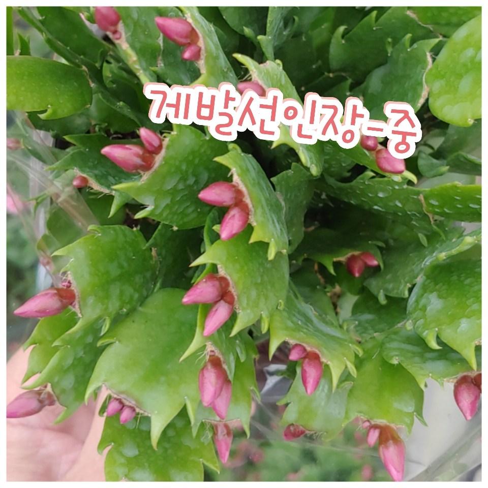 꽃나라엘리스 게발선인장(레드)-중-겨울에 꽃을 피우기에 크리스마스선인장
