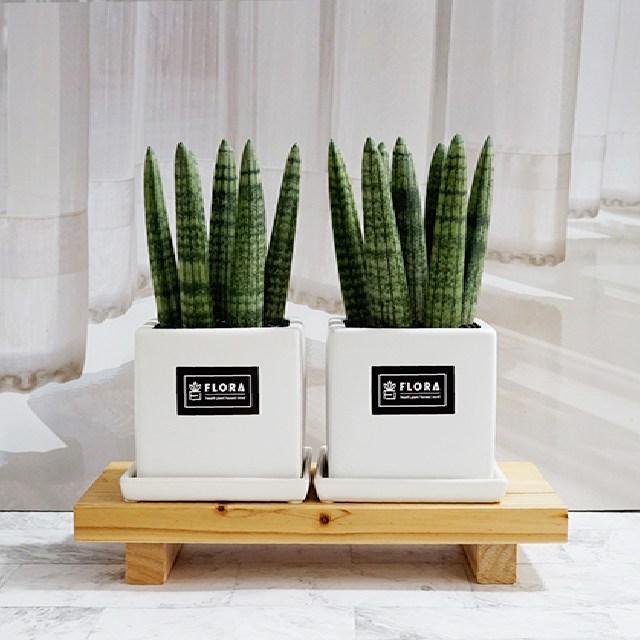 플로라 선물용 본셀 통통이 스투키 3종 공기정화식물, 1개, 화이트(중형화분)