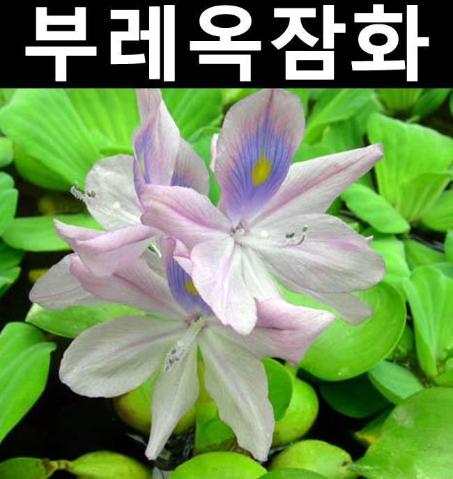 부레옥잠화(뿌리) 5개/수중/수생/관상용