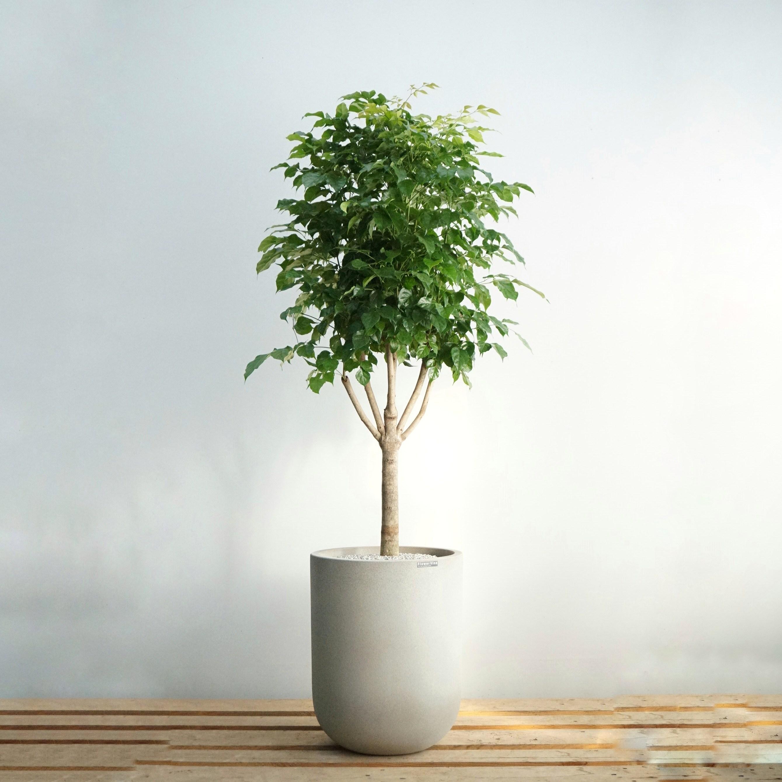 플라워바인 대형 녹보수 빈티지그레이화분 개업 그늘에서잘자라는 인테리어 공기정화 실내식물