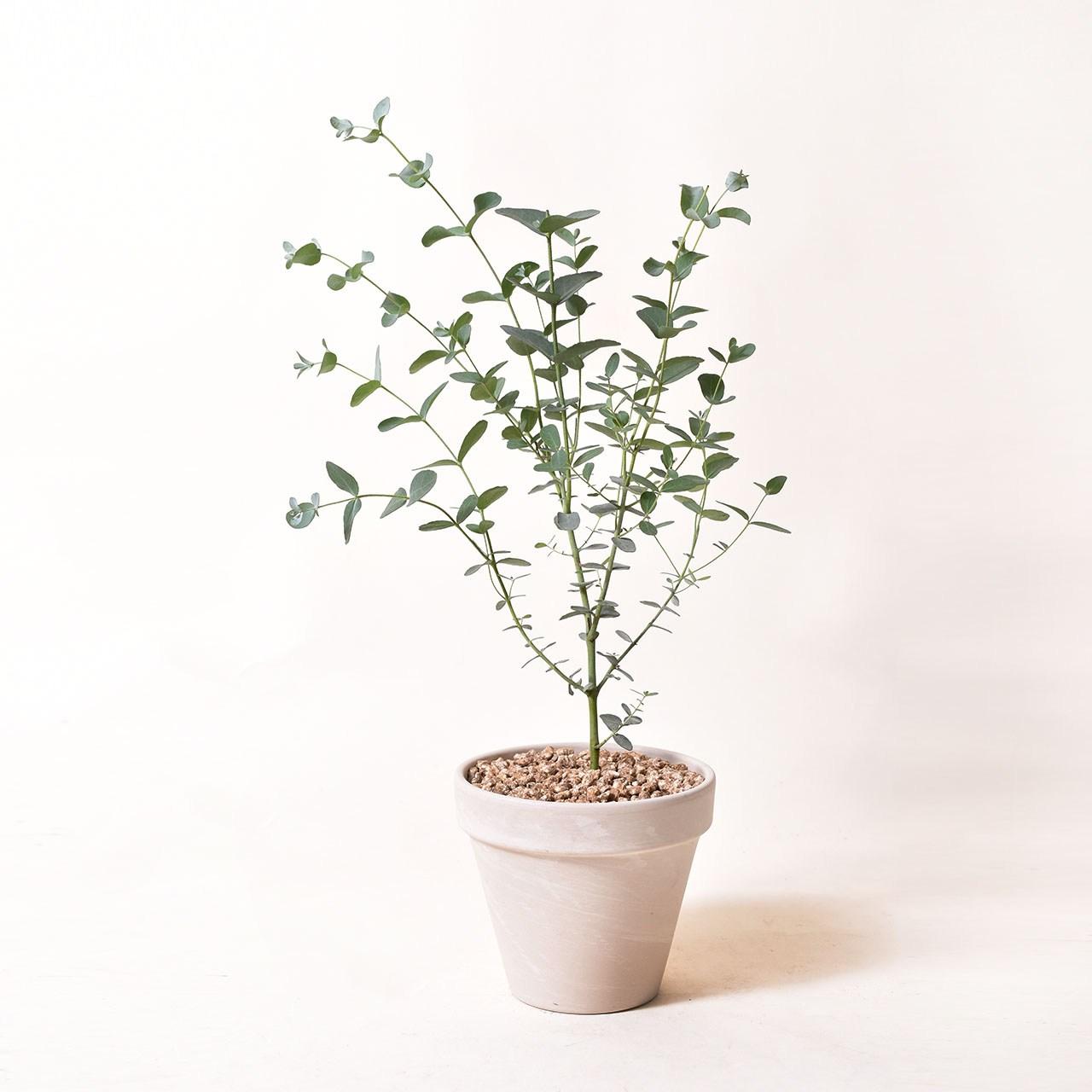 필플랜트 인테리어식물 공기정화식물 마오리소포라 율마 스투키 문샤인 유칼립투스 올리브나무, 1개, 2.유칼립투스+독일토분 화이트크림