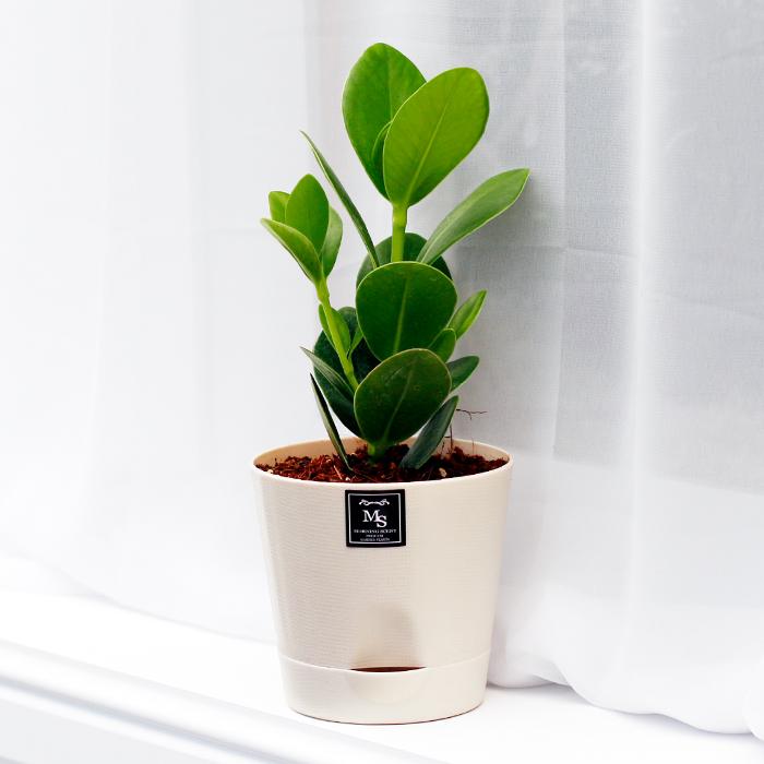 아침향기 공기정화식물 기능성 에코화분 아이보리  (에코화분/아이보리) 크루시아  1개스칸디아모스 천연이끼 공기정화 이모티콘 화