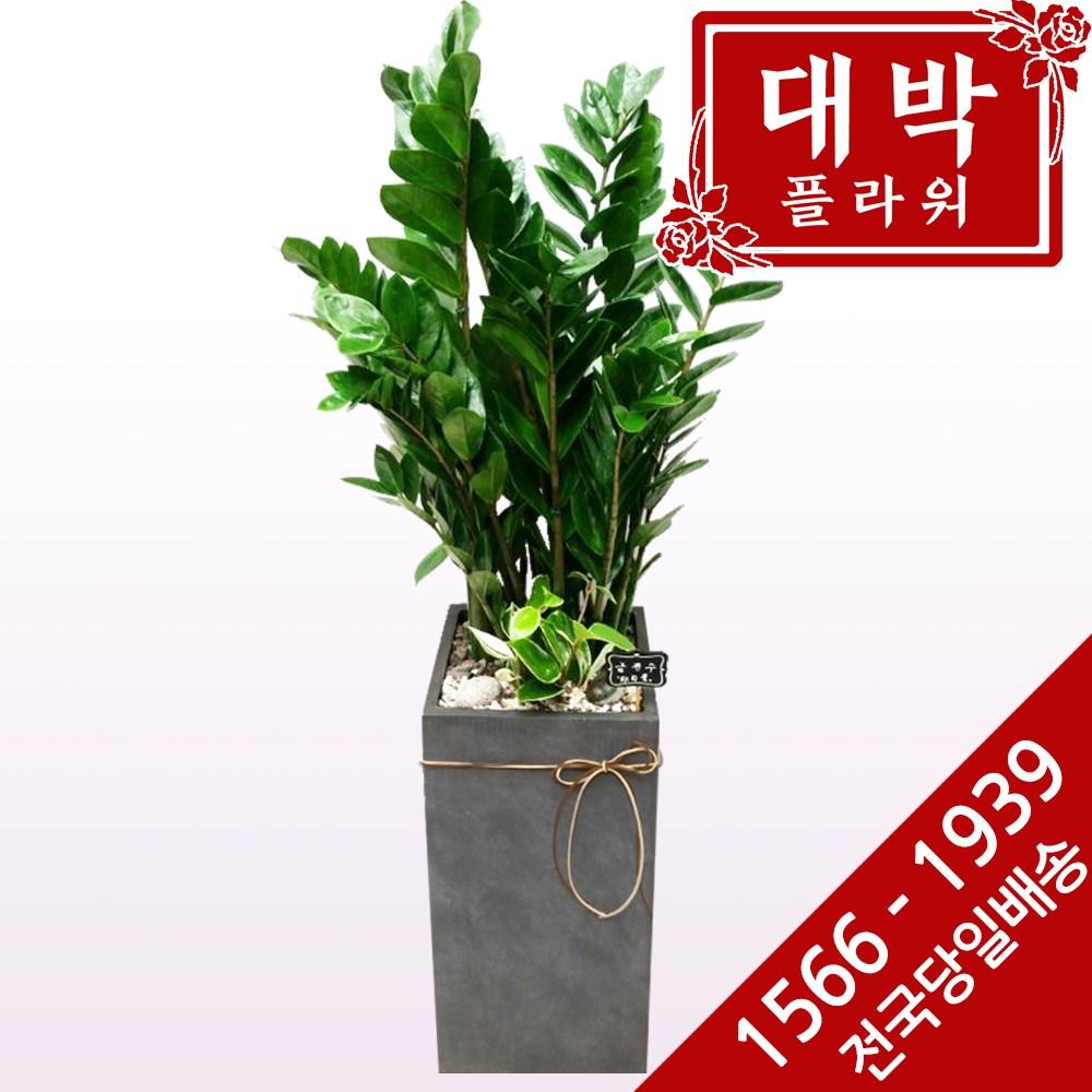 대박플라워 금전수(돈나무) 개업화분 집들이선물 인테리어화분 공기정화식물 관엽식물