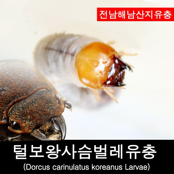 털보왕사슴벌레유충-Dorcus carinulatus koreanus