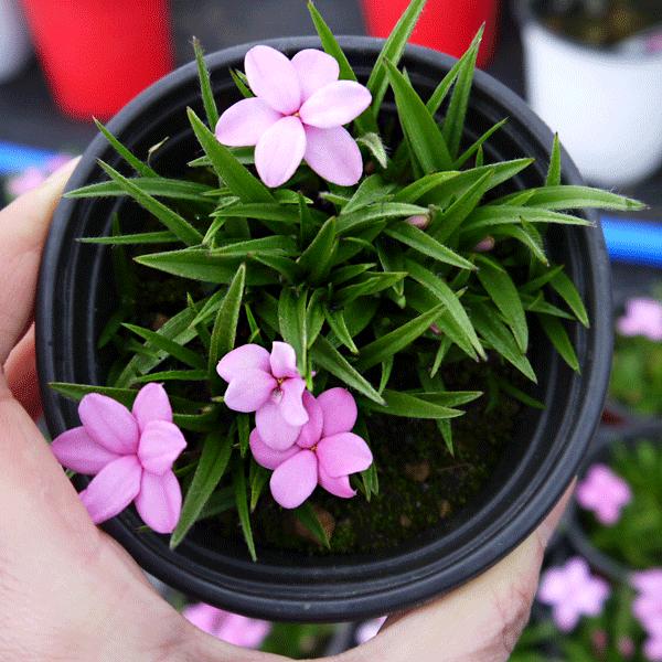 복남이네야생화 설란-핑크 [2포트] (10cm포트 분홍설란 모종)