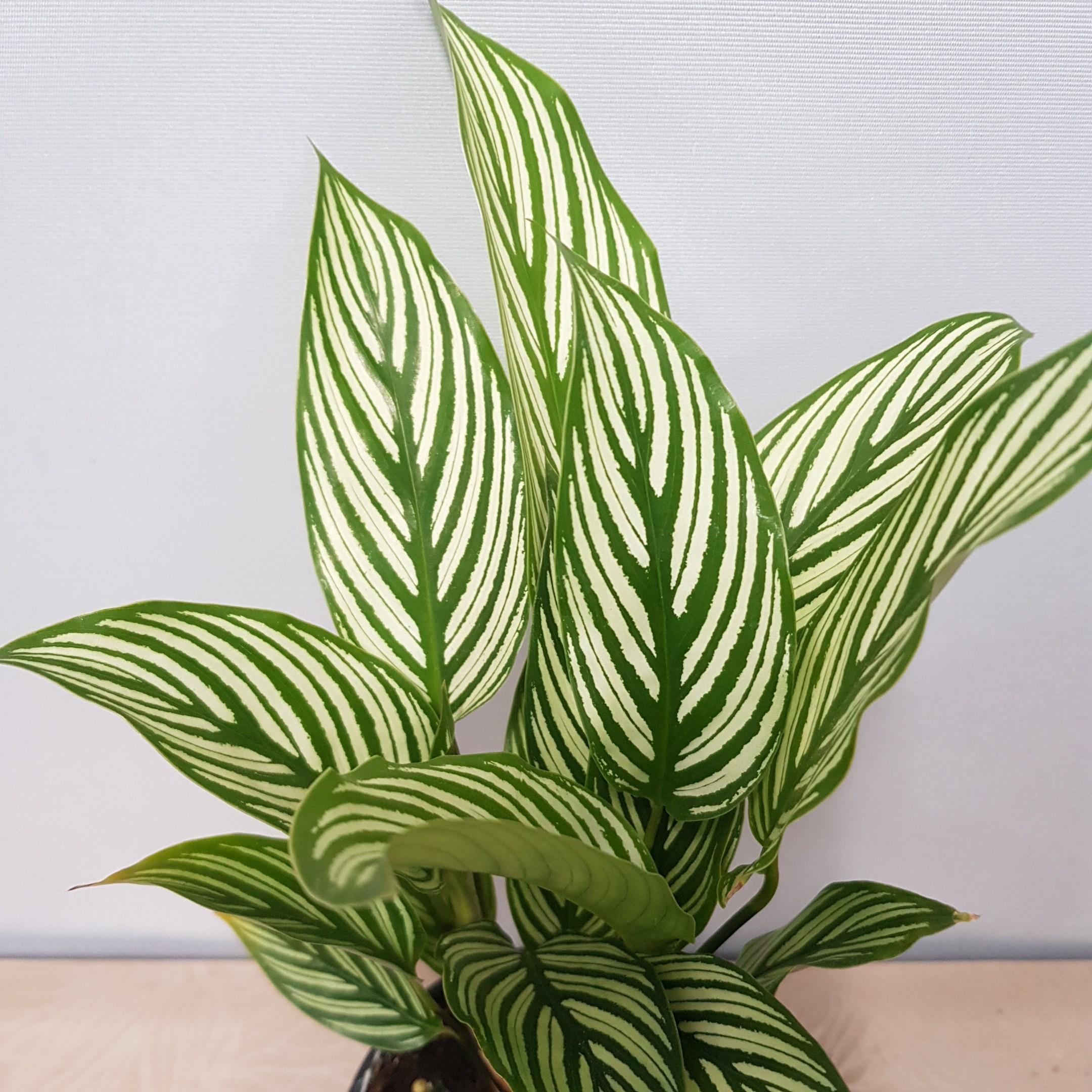 콩플라워 칼라데아 비타타 수입식물