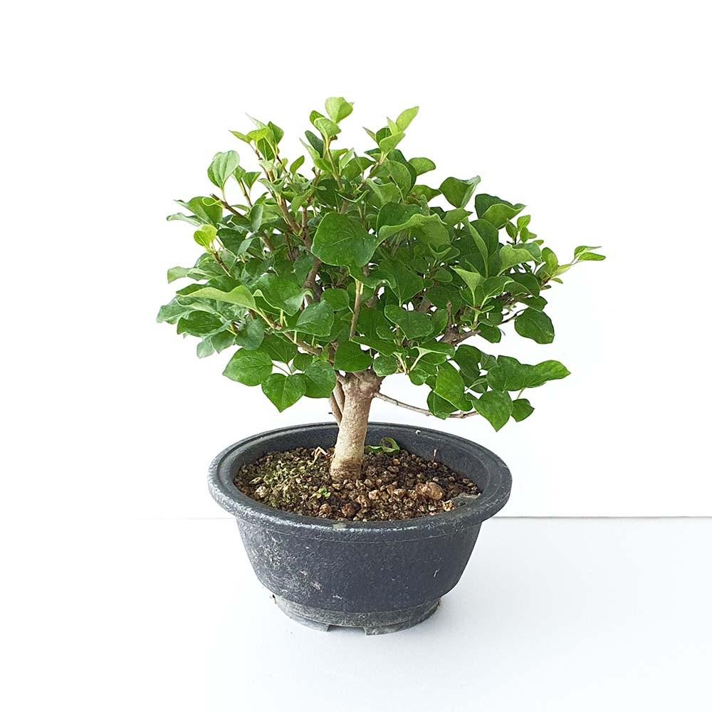 그린피아약초 미스김 라일락 포트묘 분재 공기정화식물 향기나는 꽃 나무