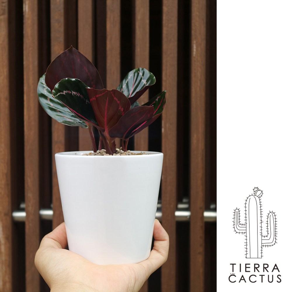 *티에라선인장* 화분포함 완제품)테이블사이즈 공기정화 식물 6종 셀렘 마리안느 스파트 칼라데아 스노우 사파이어 엔젤