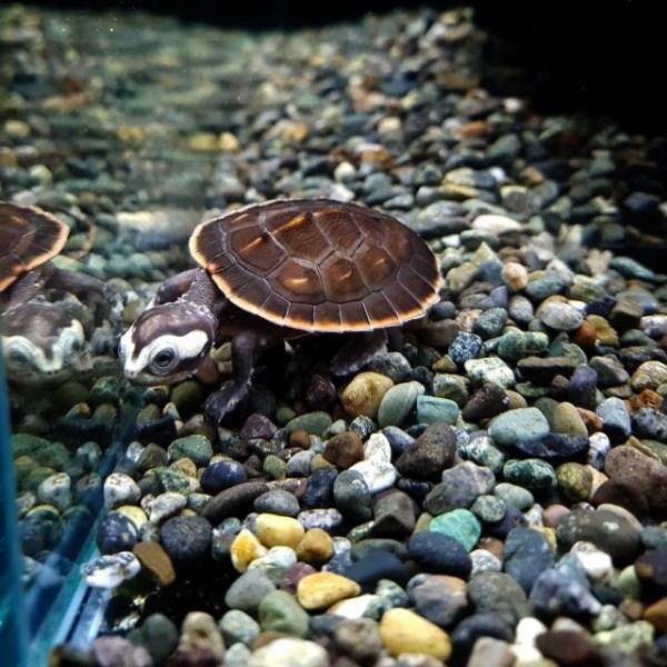[오쿠아] 핑크벨리 사이드넥 거북이(2.5cm내외) 애완거북이, 1마리