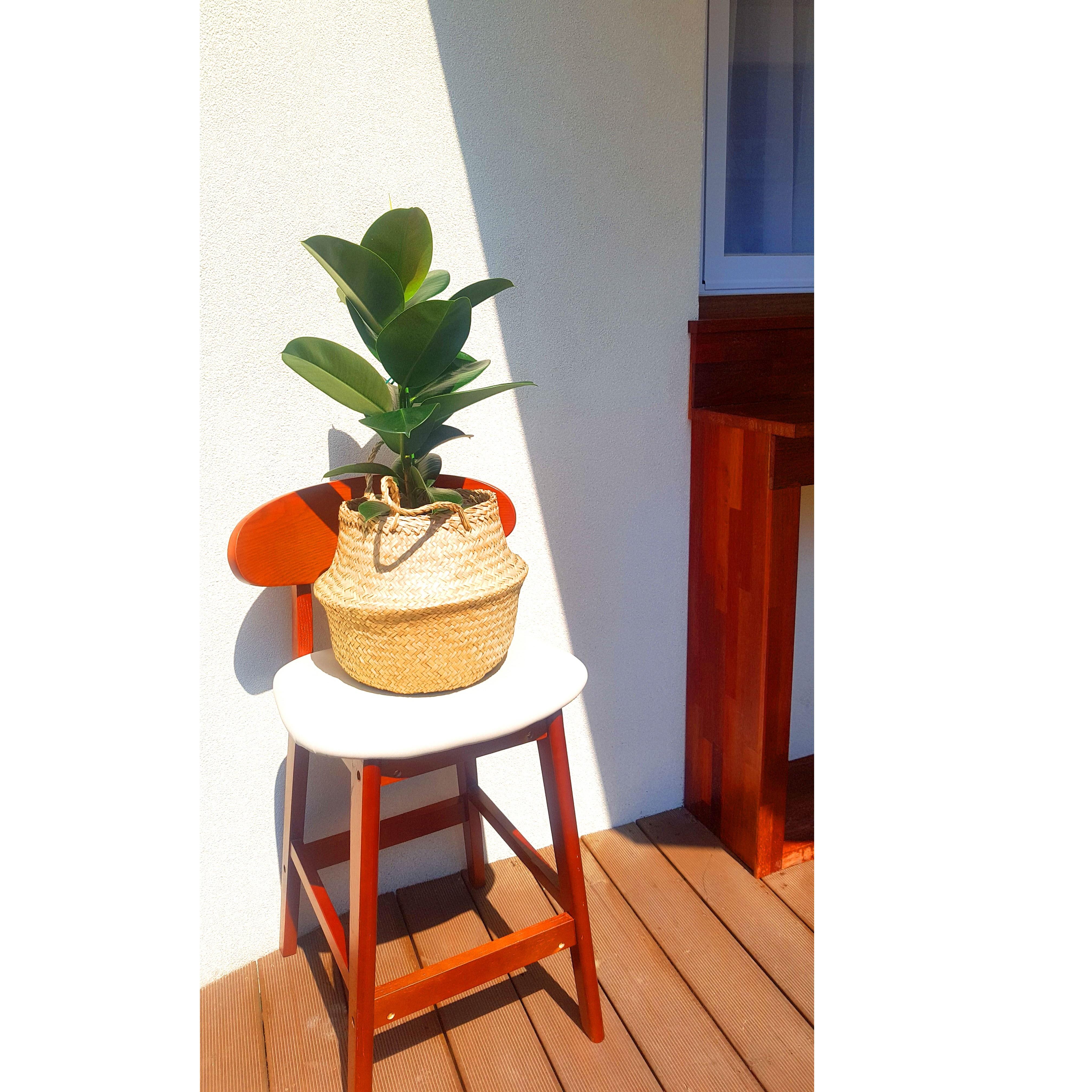 [재재나무] 인도고무나무 반려식물, 인도고무나무 + 해초바구니