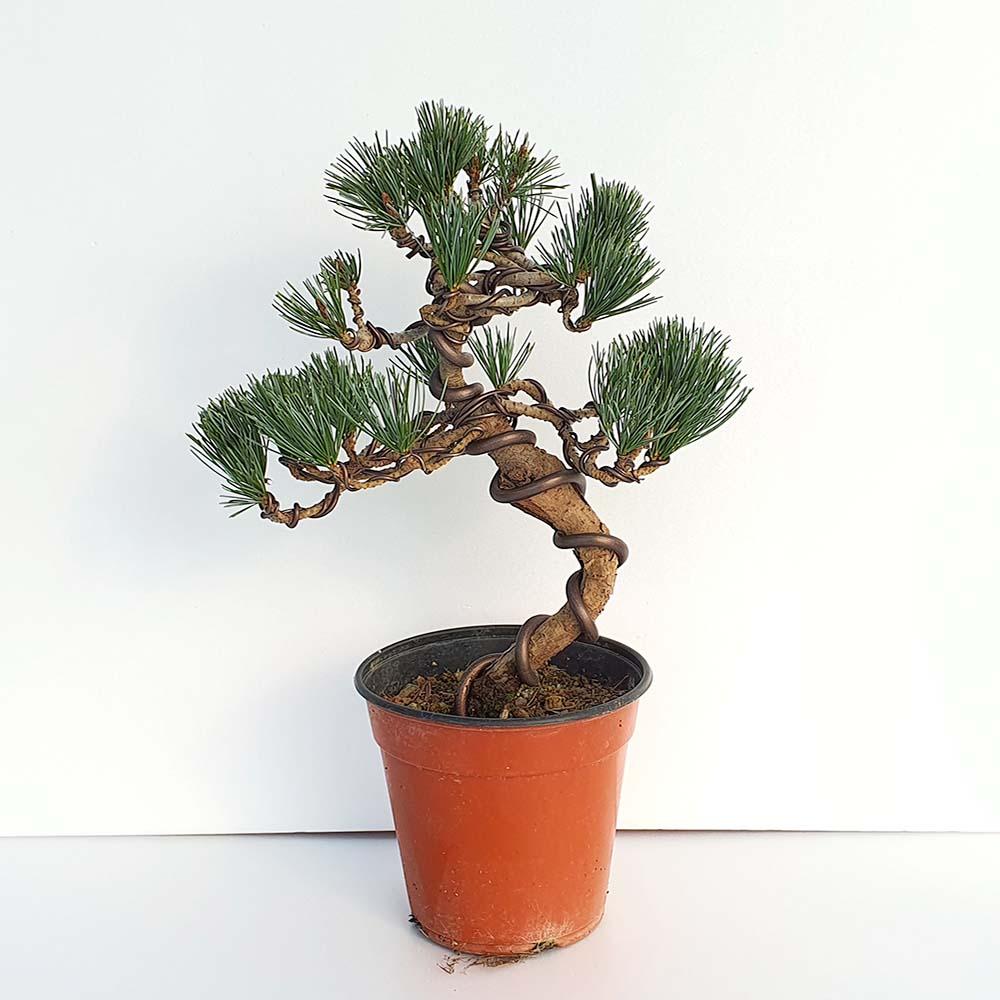 프리미엄 오엽송 소나무 분재 피톤치드 인테리어식물