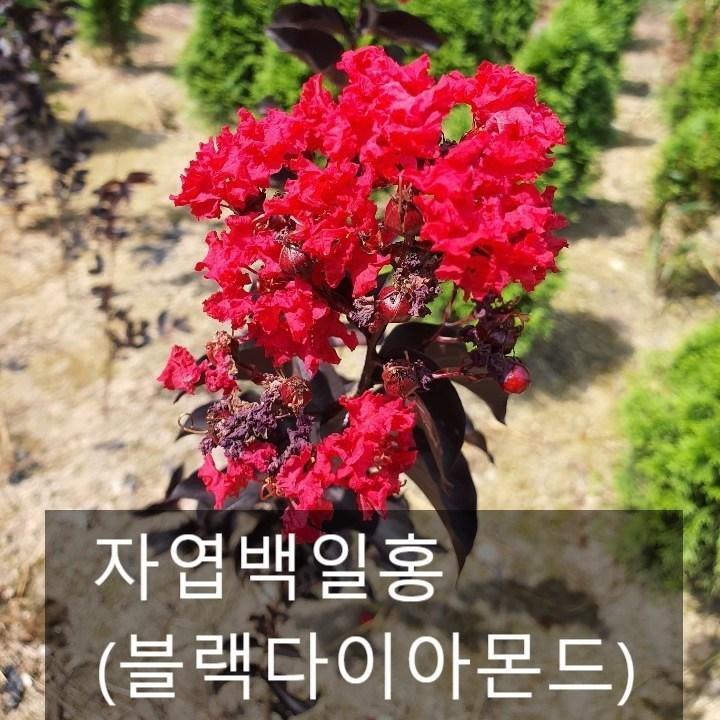 누리원예조경 자엽백일홍(블랙다이아몬드)