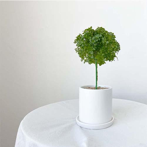 허브 바질트리 화분 세트 실내공기정화식물, 바질트리+유광화이트 세라믹화분+받침