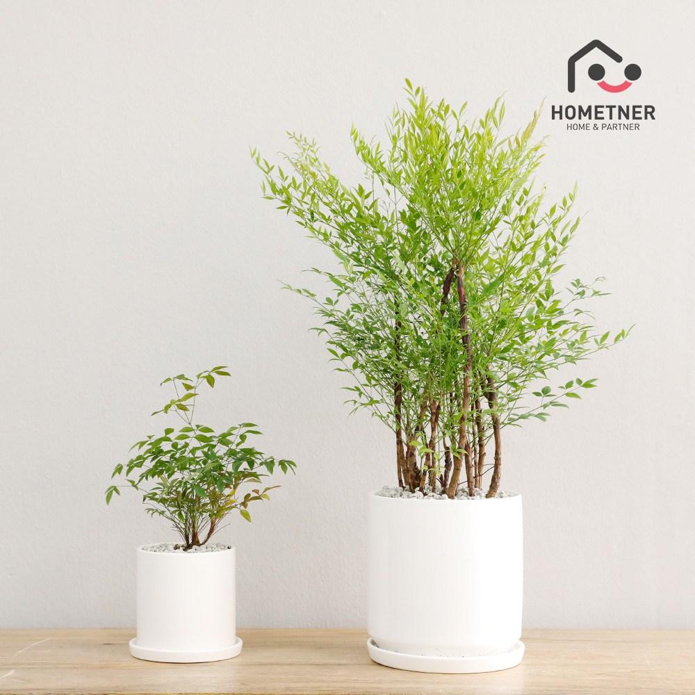 홈트너 실내공기정화식물 관엽 인테리어식물, 1Ea, 2_4 남천나무 소