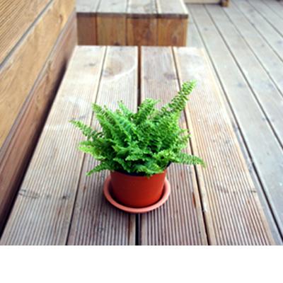 그린플랜트 공기정화식물 보스톤고사리 1+1