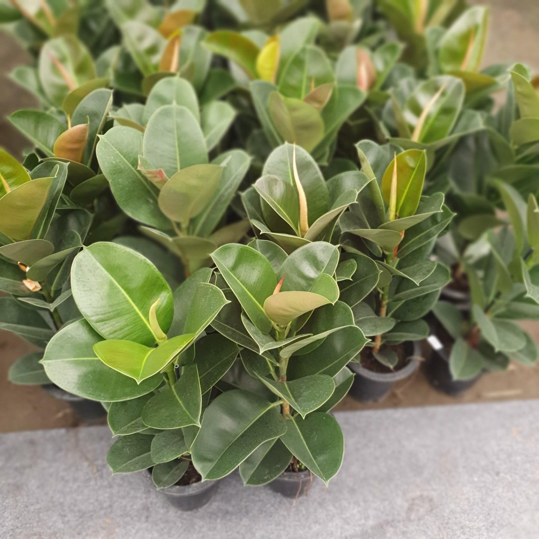 식물 공장 인도고무나무 미세먼지제거식물 플랜테리어 실내공기정화식물 99S