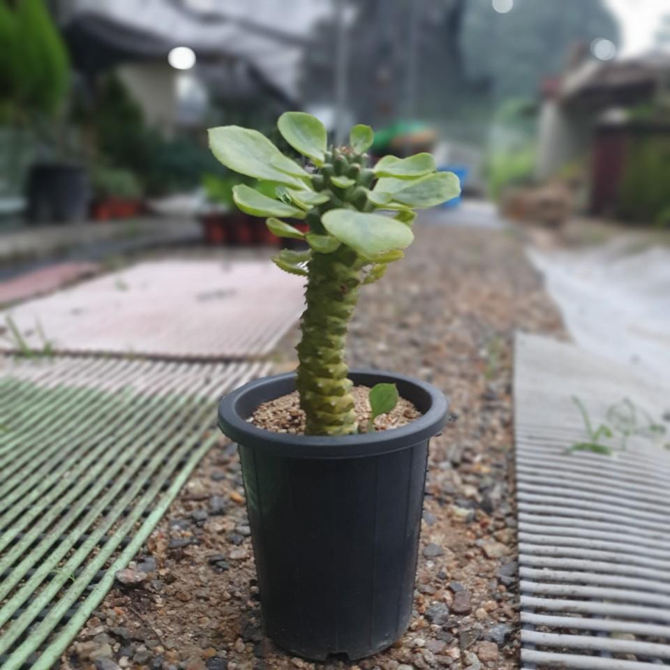 공룡꽃식물원(주) 리치아이 선인장 다육식물 20~30cm 69