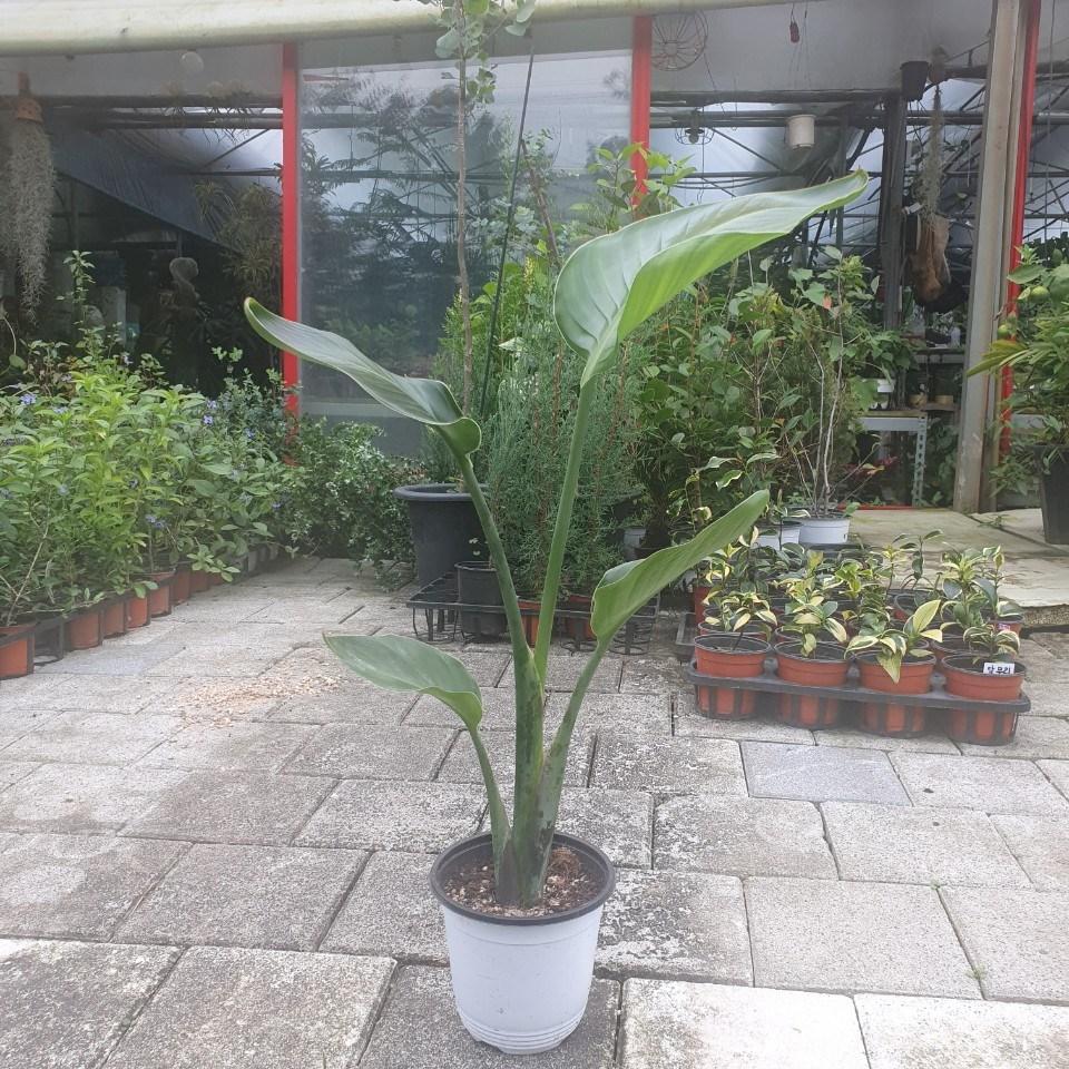 45~65cm 119 극락조 여인초 중품 공기정화식물
