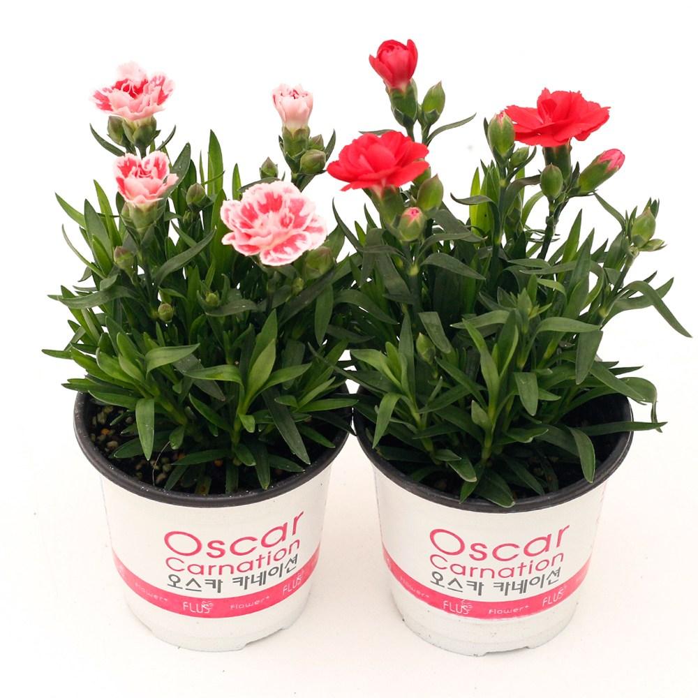 향카네이션 핑크 레드 봄꽃 어버이날 화분, 향카네이션 레드계열 소형포트