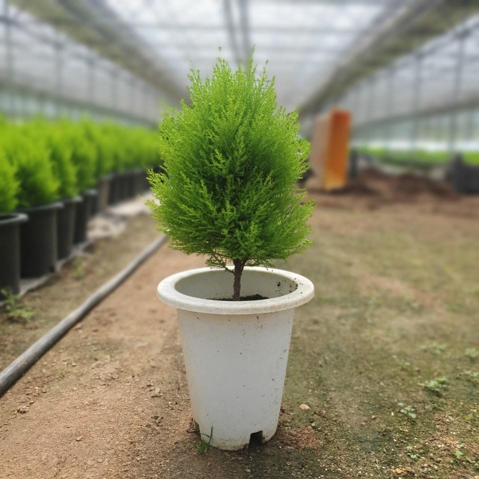 식물공장 율마 외목대 중대품 35~60cm 79 허브 공기정화식물