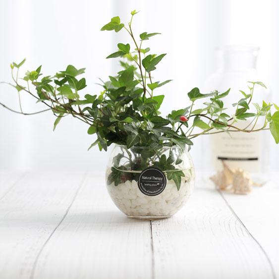 그린테라피 수경재배식물 유리병 실내공기정화식물 수중식물키우기 DIYSET, 아이비+어항