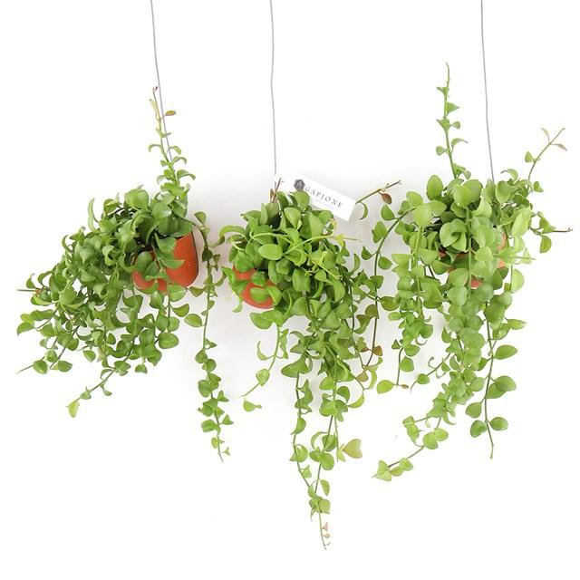 갑조네 미니화분 디시디아 2020.06 신상품 공기정화식물 인테리어식물