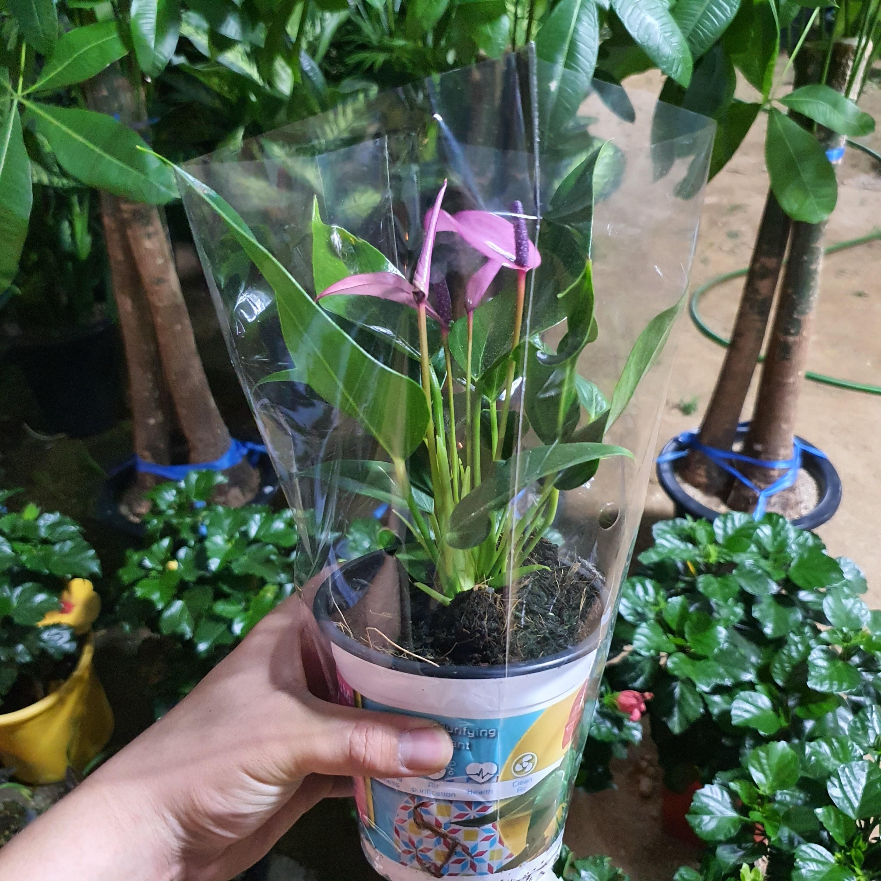 꽃피리 안시리움 (보라색)희귀색상
