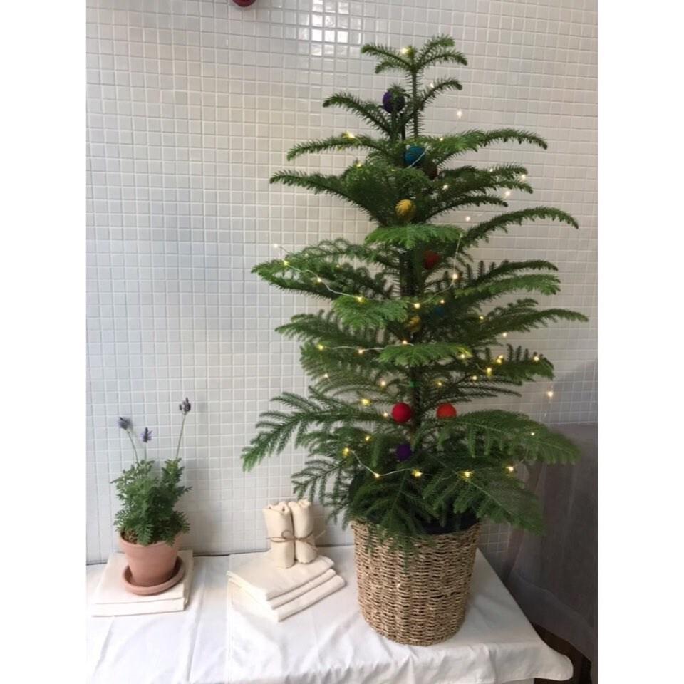 플랜트마마 크리스마스 생화 트리 아라우카리아 당일직배송