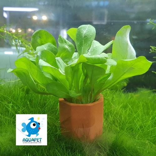 아쿠아펫[초보자 포트수초] 워터로즈화분수초, 1개
