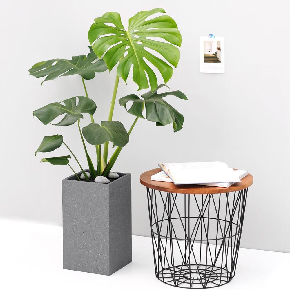 아침향기 공기정화식물 대형화분 FRP 화기 화분 - 몬스테라, FRP 그레이 몬스테라, 1개