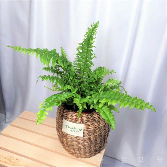 보스턴 고사리 인테리어 쉬운식물 홈가드닝화분포함