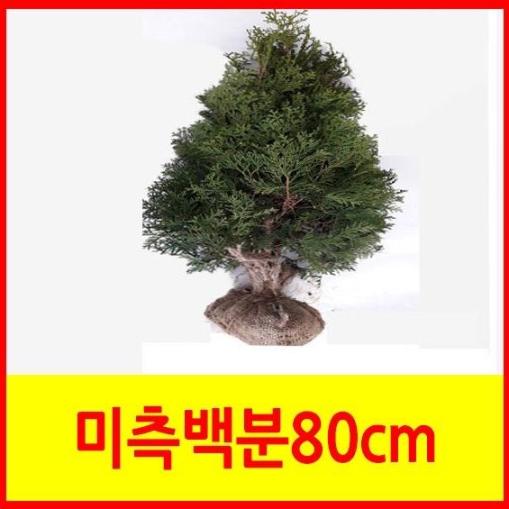 순희농장 미측백나무 미측백묘목 미측백분80cm