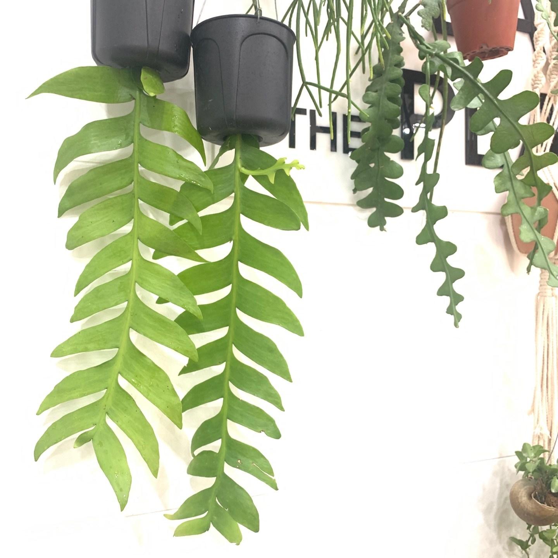 크리소카디움 행잉식물 식물인테리어 키우기쉬운식물