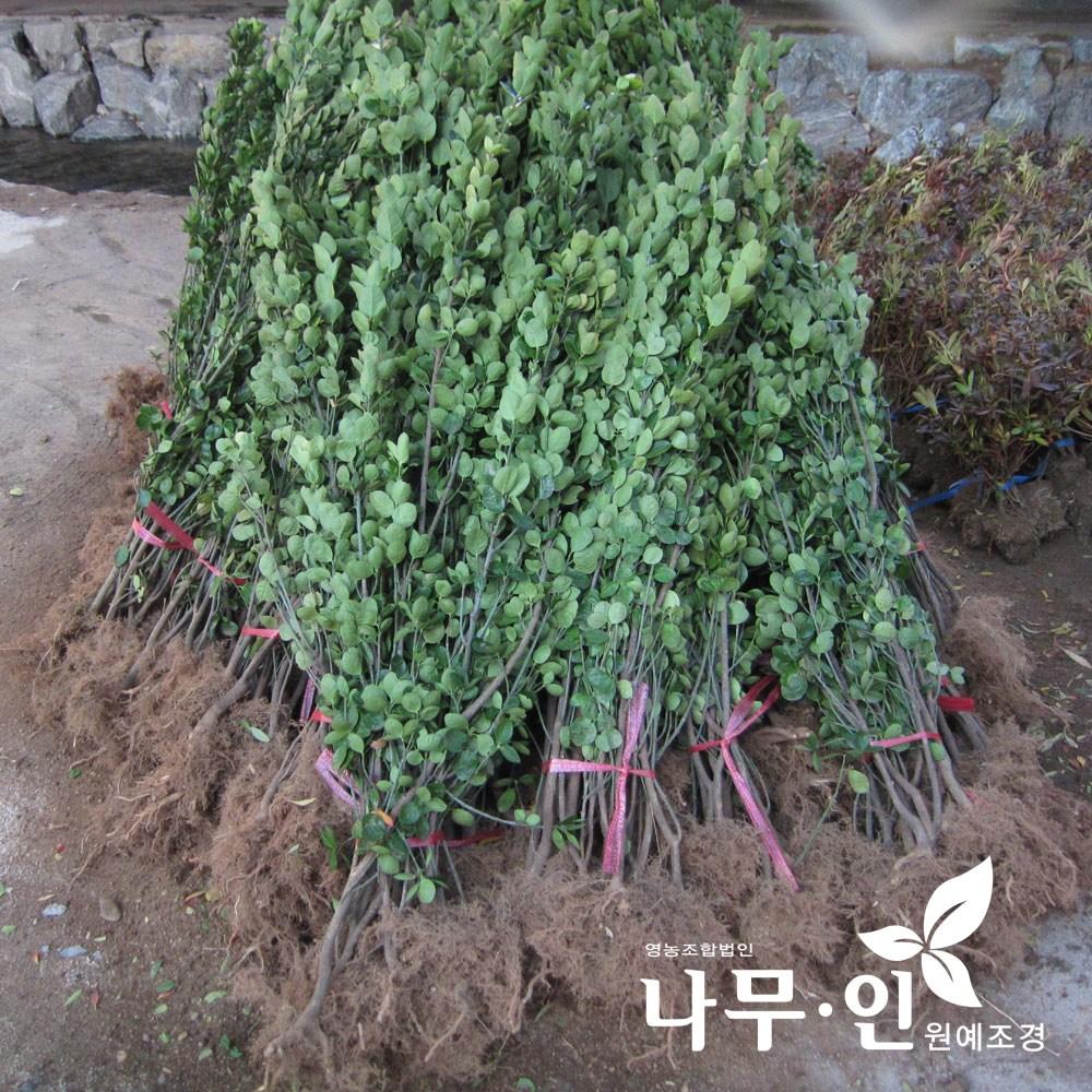 [나무인] 사철나무 생울타리용 10그루