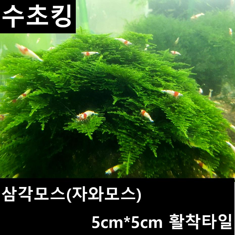 수초킹 키우기 쉬운 초보수초 삼각모스 (자와모스) 5cm*5cm 활착판, 3개