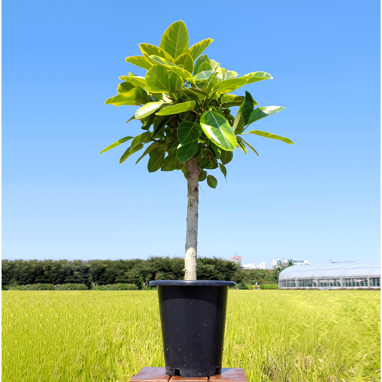 그린테리어 뱅갈 고무나무 대형 1.2m