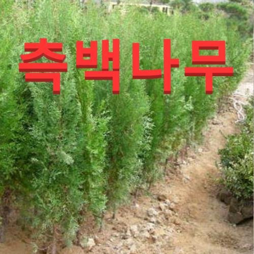 (성실농원) 측백나무 묘목 키150센치 1그루