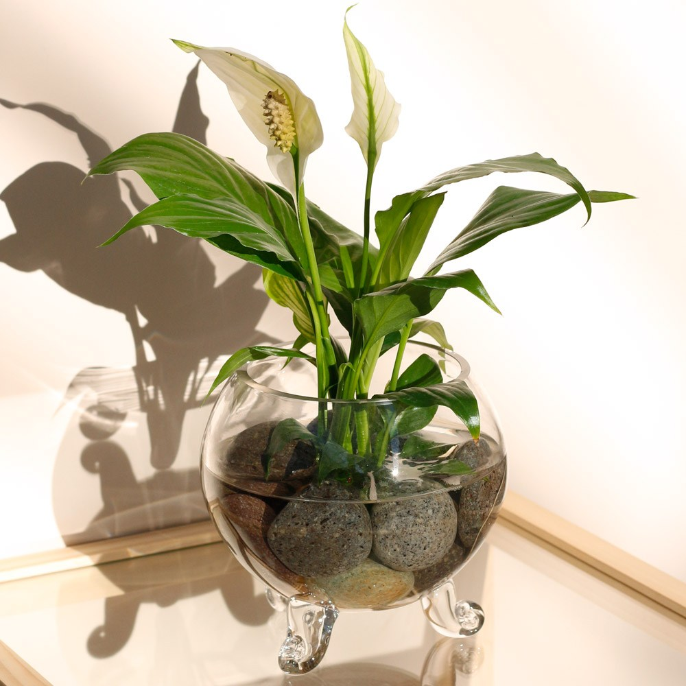 아침향기 자연가습기 수경재배 공기정화식물, 1개, (수경화분)스파트필름