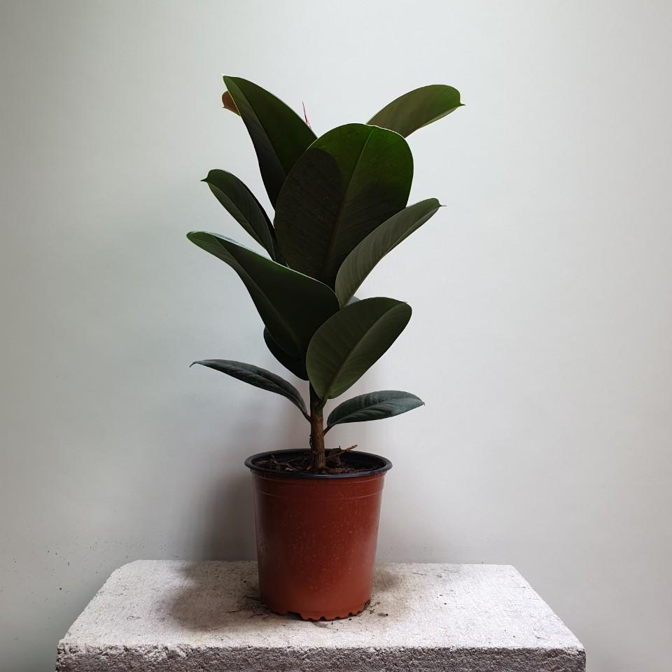 [나인에잇틴]인도고무나무 중품 공기정화식물