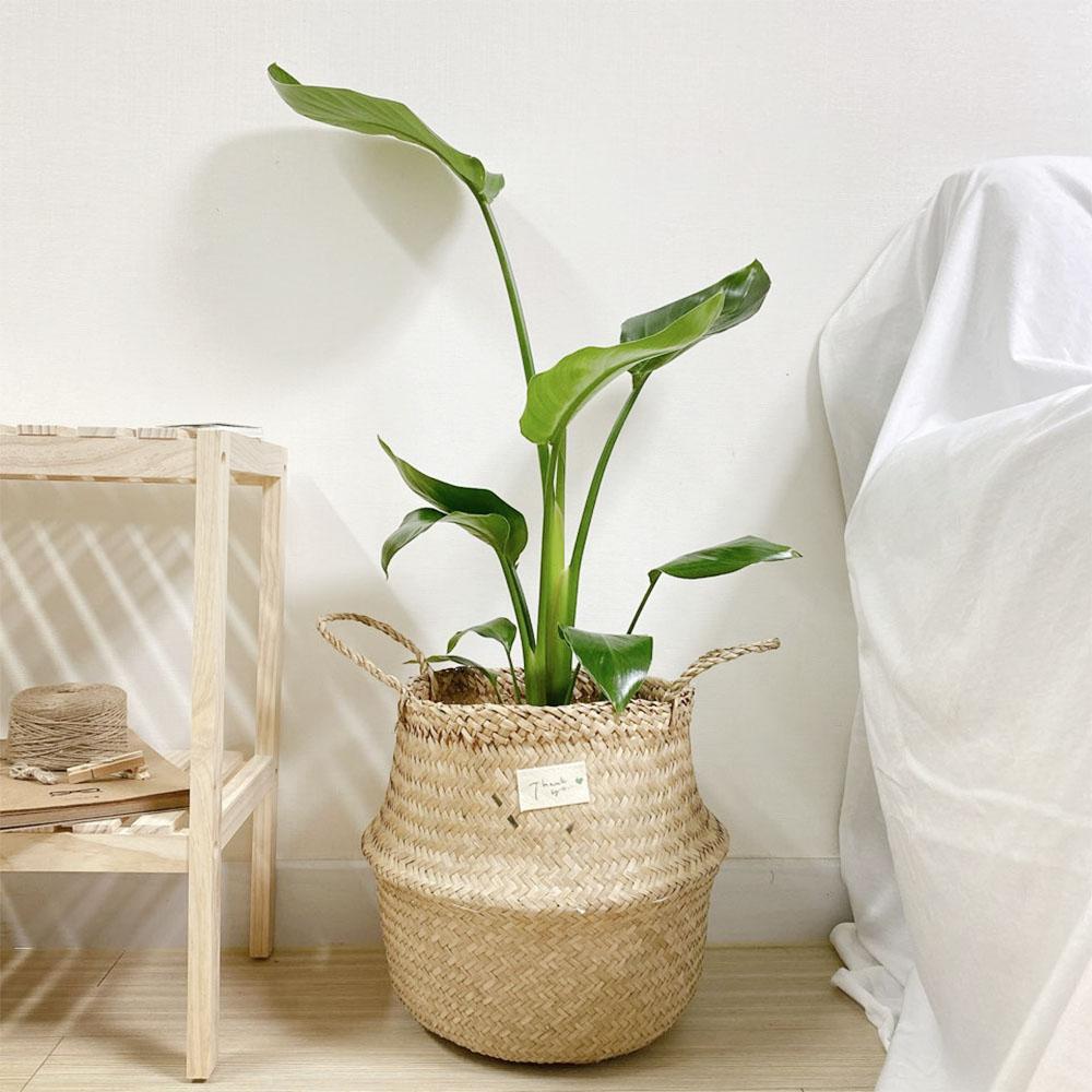 극락조 집에서키우기쉬운 좋은 그늘에서잘자라는 반음지 공기정화식물 집들이 개업 선물 인테리어식물, 극락조 소, 선택안함(모종)