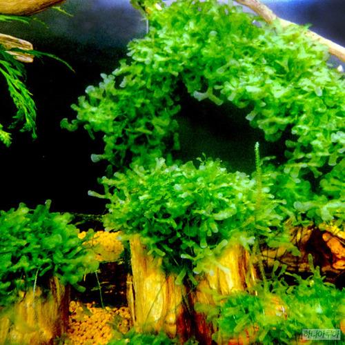 물미역모스 (소스컵1컵분량)