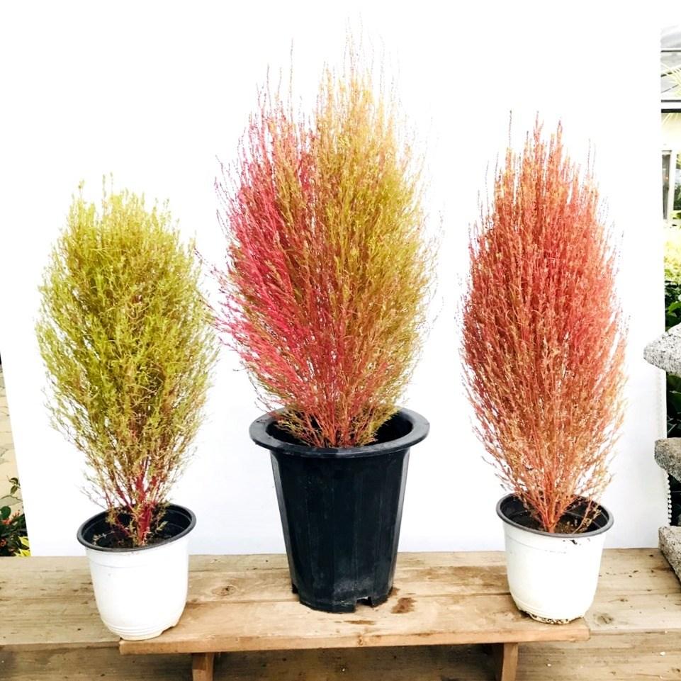 청년농부 댑싸리 중사이즈 대싸리 핑크나무 예쁜식물