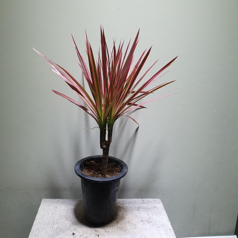 [나인에잇틴]레인보우 마지나타 공기정화식물